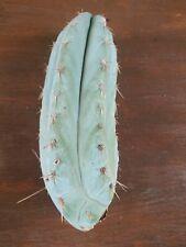 Tricho Peruvianus 'Roseii 1' Fields Garden Clone Collectors Cactus Plant 🌵