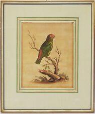 George Edwards Kupferstich 18.Jh. handkoloriert Büttenp. Vogel Papagei 42x36cm