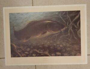 Barbel Bite by Sheila Tilmouth - Print