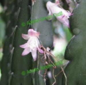 Rhipsalis Cruciforme Pink R40 (8-10cm Cutting) Epiphyllum Cactus