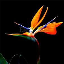 10X Teopical Mallowwort Mallow Bird of Paradise Strelitzia Reginae Flower Seeds