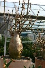 Caudex Pachypodium Succulentum potsize 35 cm