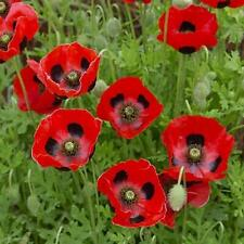 Papaver commutatum Ladybird appx 2000 seeds Lady Bird Poppy