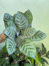 New listing rAre Giant Leaved Silver Species Calathea Bella .hard to find Collector