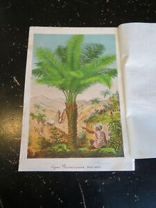 Palm - L' Illustration Horticole, ca:1875, fine color lithograph