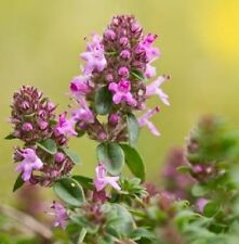 Wildflower Seeds - Large Thyme - 50 Seed