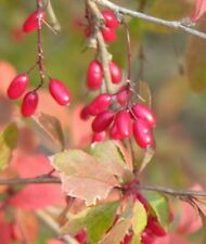 FR066B European Barberry x30 Bulk seeds  *** 5c goes to Cancer Council