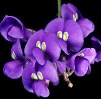 i! WISTERIA !i Zimmer-Pflanze Kübel Topf Wintergarten Terrasse Saatgut Blumen
