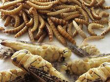 ESSBARE INSEKTEN HEUSCHRECKEN & BUFFALOS - Feine Speise-Insekten zum Kochen