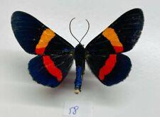 Geometridae Milionia drucei mâle mounted sulawesi full data