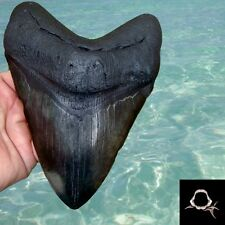 6 & 5/8 in. * GINORMOUS * JET BLACK Megalodon Shark Tooth - Teeth