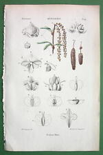 WHITE BIRCH Flower Tree Betula Alba  - 1846 H/C Color Print