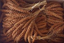 Chin.Kolbenhirse rot Vogelfutter Sittich  Kanarien 1kg Gp 12,00€/kg