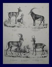 Antelope Chamois Gams Alps Hunting Hunter ANTELOPE Africa Safari Serengeti Horn Zoo
