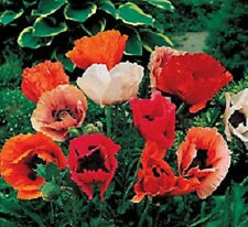 1,000 Oriental Poppy Mix Seeds  FLOWER SEEDS
