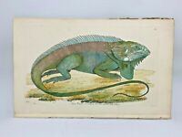 Iguana - 1783 RARE SHAW & NODDER Hand Colored Copper Engraving