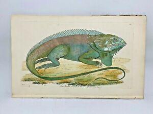 Iguana - 1783 RARE SHAW & NODDER Hand Colored Copper Engraving