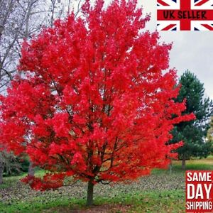 Red Maple Tree (Acer Rubrum) 25 fresh seeds. Bonsai. Same Day Dispatch
