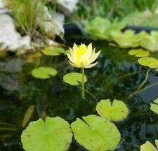 Nymphaea Eldorado Yellow Tropical Water Lily plant Free Shipping