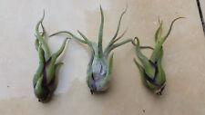 Tillandsia caput-medusae succulent airplant, living specimen