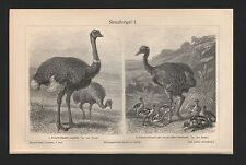 Lithografie 1909: Straußvögel I/II. Strauß Pampasstrauß Nandu Helmkasuar Emu
