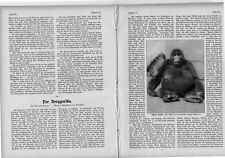 1912 Ostseebad Rauschen Gorilla Berggorilla Uganda