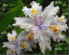 Plants- Iris evansia hybrid 'Tomah Smiles'