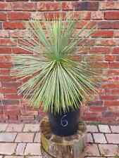 Yucca Linearifolia Nr. 6 ( No Rostrata )
