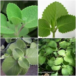 2 Cuban Oregano~Mexican Mint~Spanish Thyme~Well Rooted plant 5 to 7 Inches