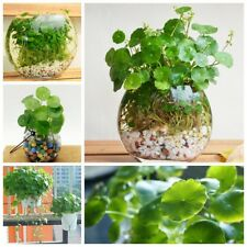 50pcs Rare Hydrocotyle Vulgaris Pilea Germination Seeds Green Water Soil Plant