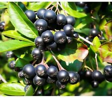 Aronia melanocarpa 80 Fresh Seeds- Chokeberry - Fruit Bush - Black Choke berry