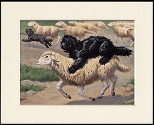 HUNGARIAN PULI AND SHEEP DOG PRINT MOUNTED READY TO FRAME