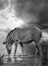 Stampa bianco e nero di una zebra MASAI MARA AFRICA. Fotografia & POSTER PICTURE