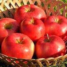 Premium Honey Crisp Red Apple Tree Garden Fresh Fruit Sweet Juicy Easy to Grow