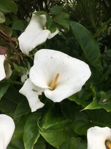 Hardy White Calla Arum Lily Zantedeschia aethiopica - Pack of Three Potted Plant