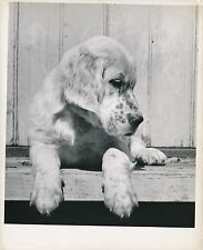 SETTER ANGLAIS c. 1950 - Chien Chiot Grand Format - CH 49