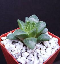 """Rare Haworthia Retusa exotic garden succulent aloe cactus cacti plant 2"""" pot"""