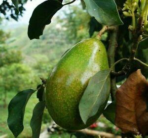 "GRAFTED AVOCADO (Persea americana )Tropical live fruit tree  (SEMIL34) 18""24"""