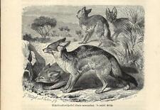 Stampa antica SCIACALLO DALLA GUALDRAPPA Canis mesomelas 1891 Old antique print