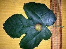 Fig Tree Cuttings, (3) Fresh Cuttings Hardy Chicago