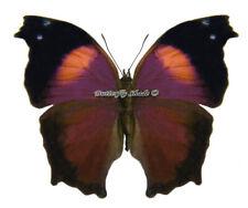 Unmounted Butterfly/Nymphalidae - Salamis cacta cacta, male, CAR