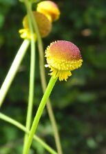 Sonnenbraut (Helenium) Autumn Lollipop