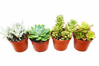 "4 Succulent Variety Pack / 4"" Pot / Live Home and Garden Plan"