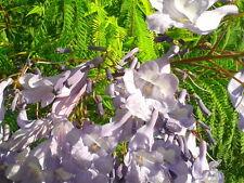 JACARANDA MIMOSIFOLIA  25 semi  Falso Palissandro seeds