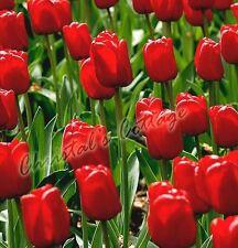 8 Bulbi Rinascita Tulipani Rossi Perenni Giardino Autunno Fioritura Primavera