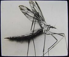 Glass Magic Lantern Slide CRANE FLY OR DADDY LONG LEGS C1910 PHOTO INSECT