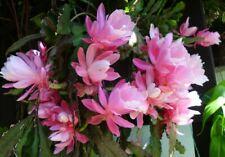 Epiphyllum cv 'Deutsche Kaiserin'