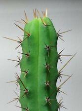 50 Seeds - T. bridgesii decorative succulent cactus