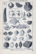 1904 FOSSILS TRIASSIC & PERMIAN