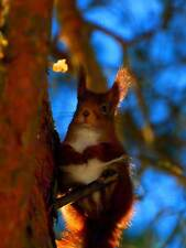 LONG EARED SQUIRREL TREE PHOTO FINE ART PRINT POSTER HOME DECOR PICTURE BMP241B